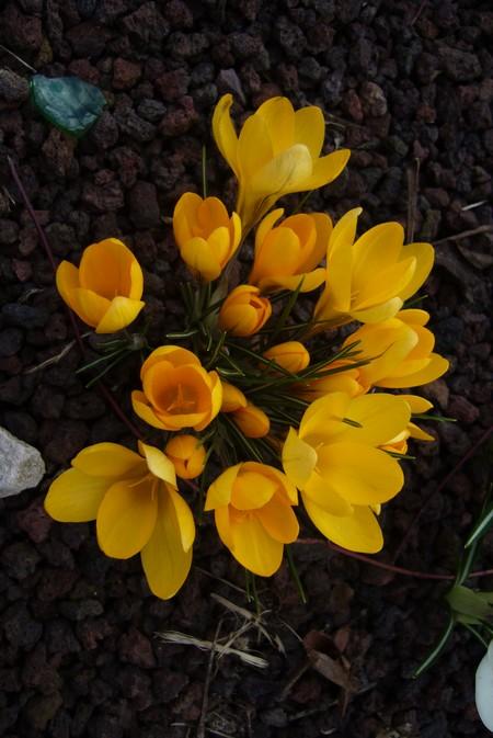 http://krommlech.cowblog.fr/images/Fleurs/Crocus/P1110682.jpg