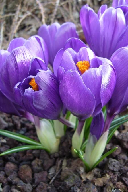 http://krommlech.cowblog.fr/images/Fleurs/Crocus/P1110695.jpg